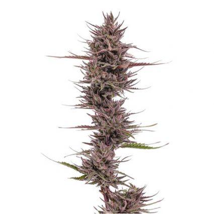 Purps hemp CBD plant